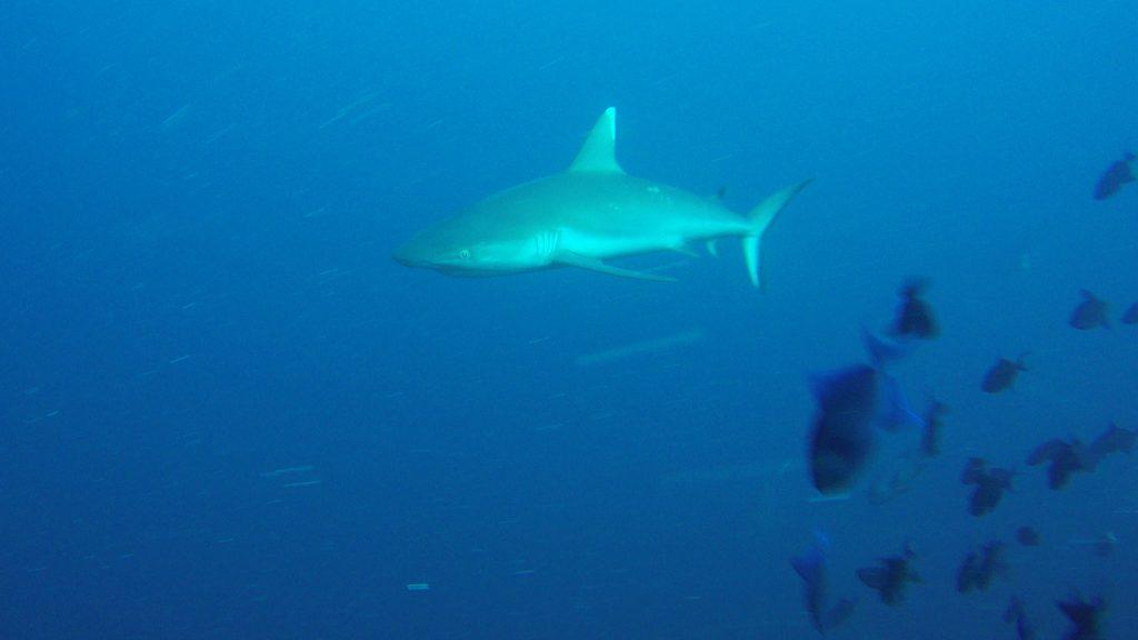 Сива рифова акула / Grey Reef Shark