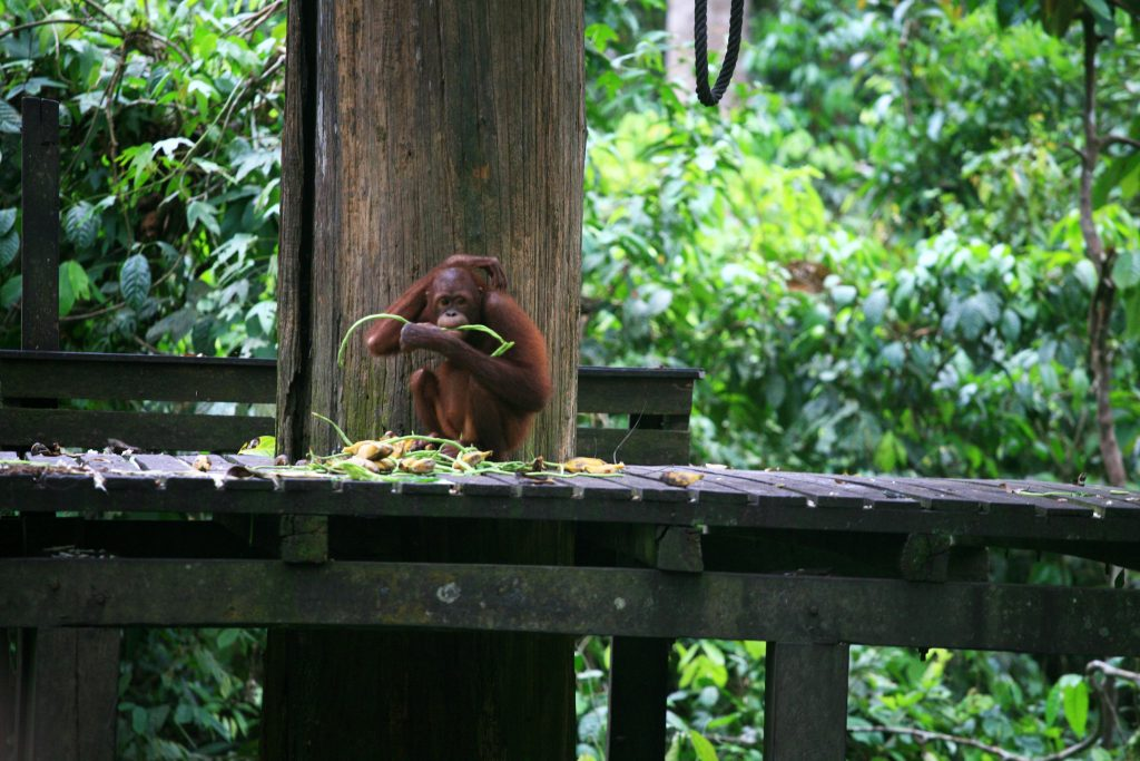 Рехабилитационен център за орангутани Сепилок / Sepilok Orangutan Rehabilitation Centre, Oстров Борнео / Borneo Island