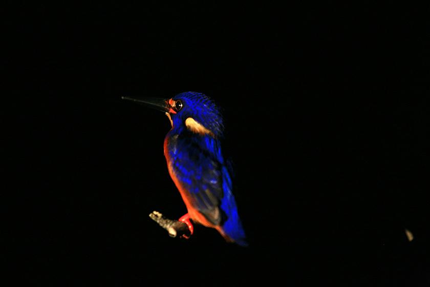 Нощно Сафари по Река Кинабатанган / Kinabatangan River, Night Safari
