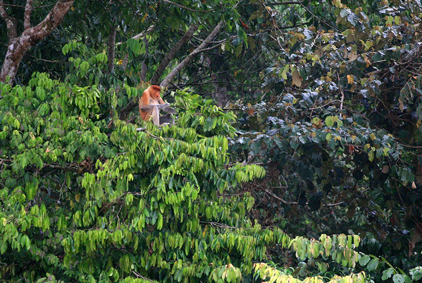 Дългоноси маймуни / Proboscis Monkeys
