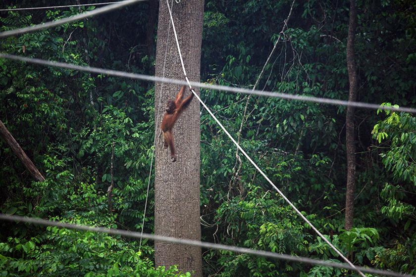 Рехабилитационен център за орангутани Сепилок / Sepilok Orangutan Rehabilitation Centre