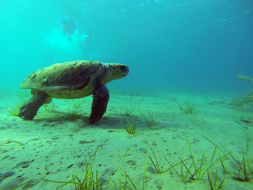 Костенурките Карета-Карета / Caretta-Caretta Turtles