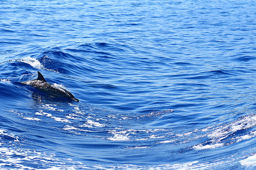 Dolphins, Zakynthos Island