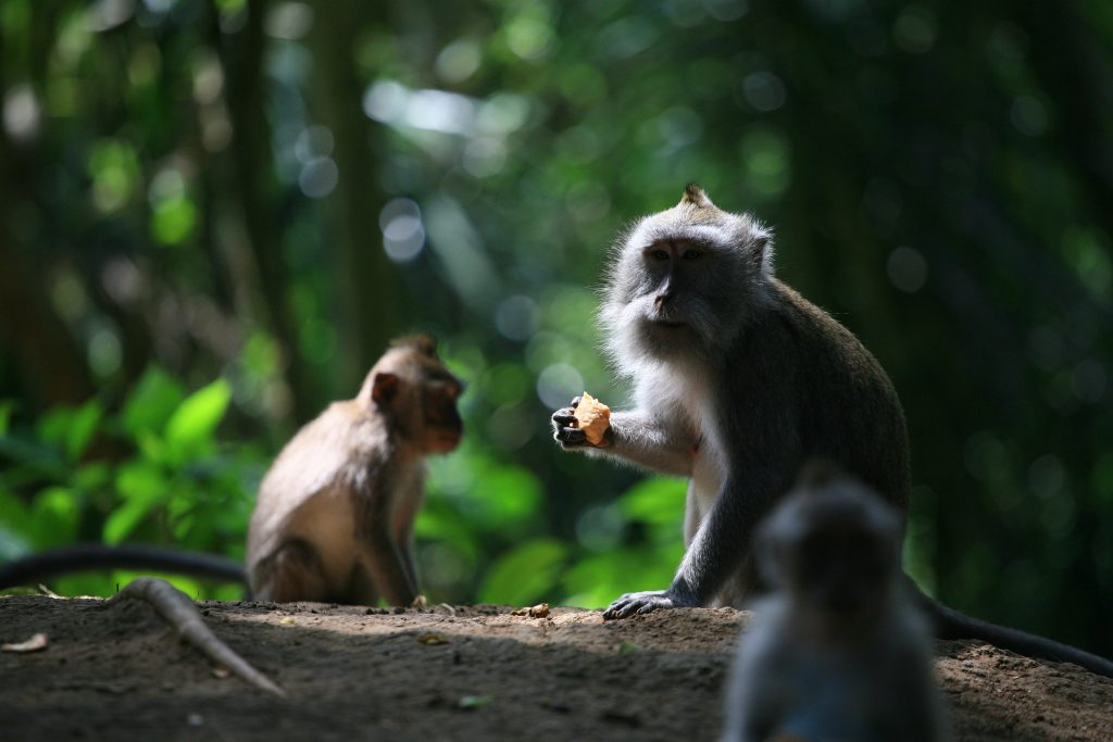 Гората на маймуните в Убуд (Ubud Monkey Forest), Остров Бали, Индонезия, Bali Island, Indonesia