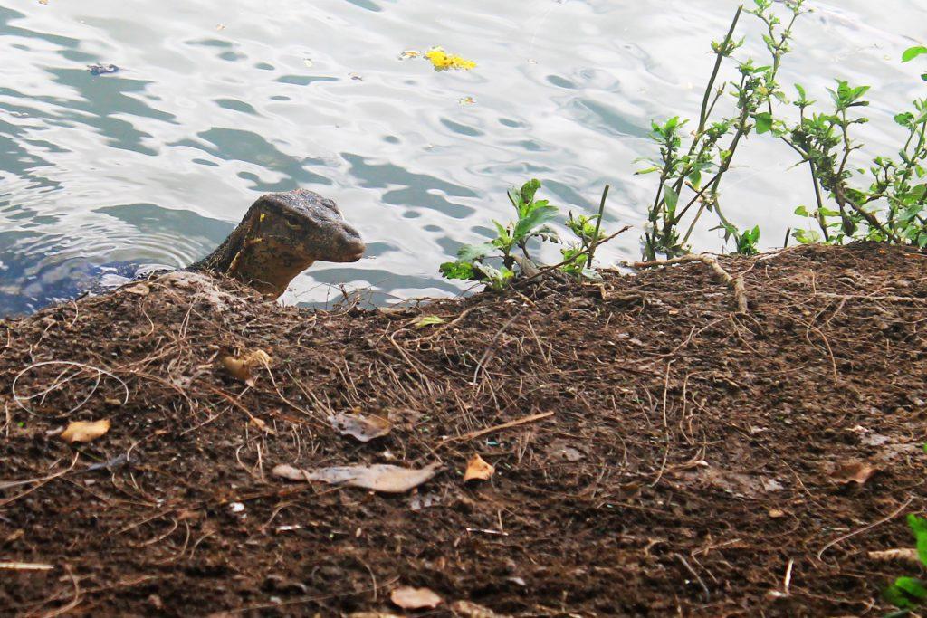 Воден варан в парка (Monitor lizard in the park)