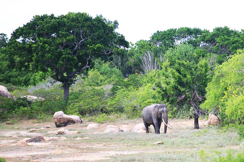 Азиатски слон в парка Яла (Asian Elephant in Yala National Park)