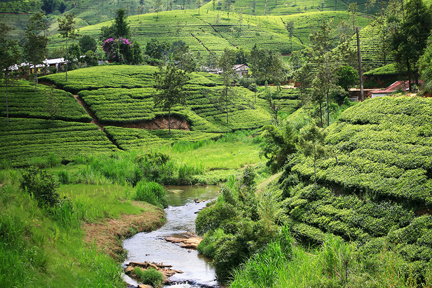 Чаени плантации в областта Нуара Елия (Nuwara Eliya Tea Plantations)