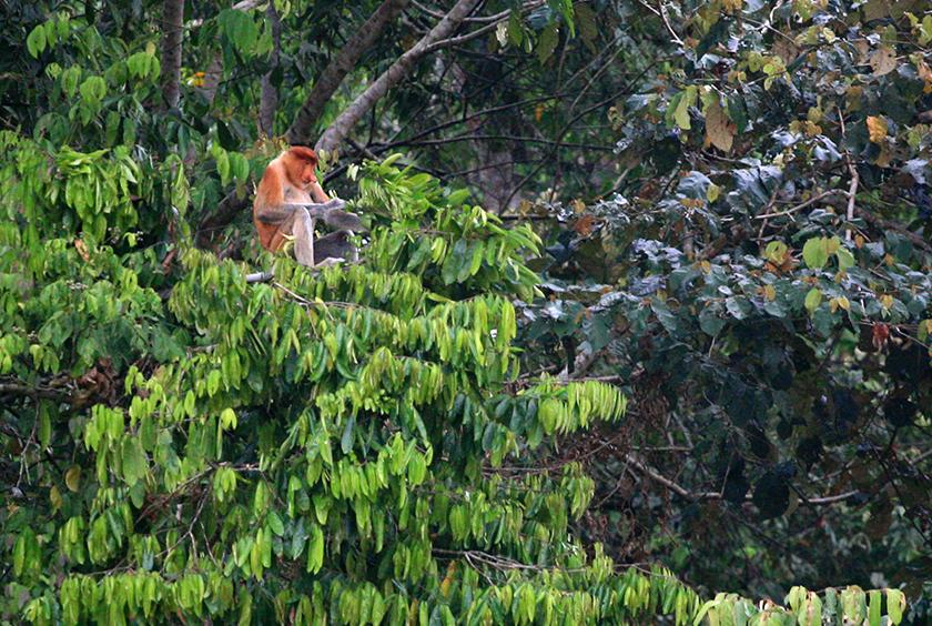 Дългоноси маймуни, Proboscis