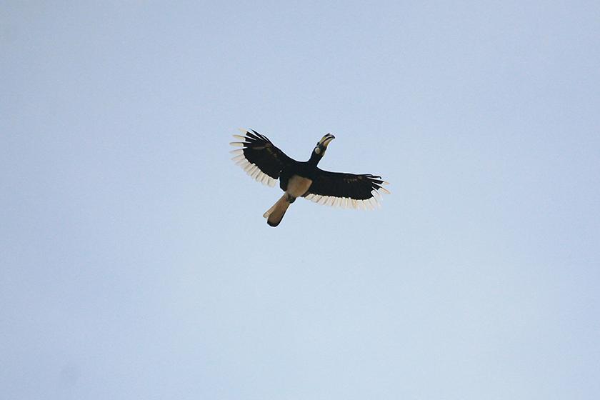 Птица-носорог (Hornbill)