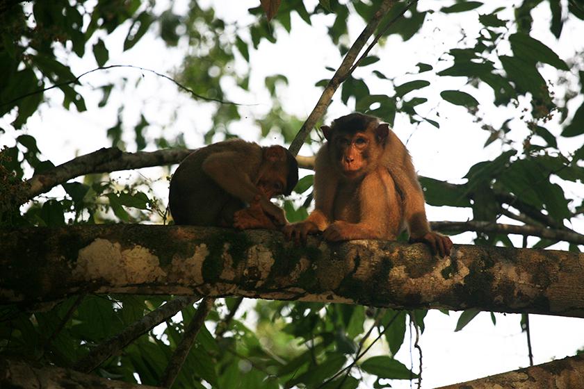 Makak, Monkey