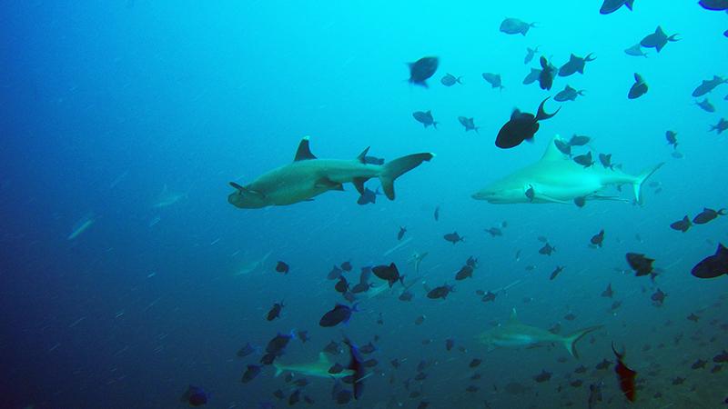 White tip shark and Grey reef shark