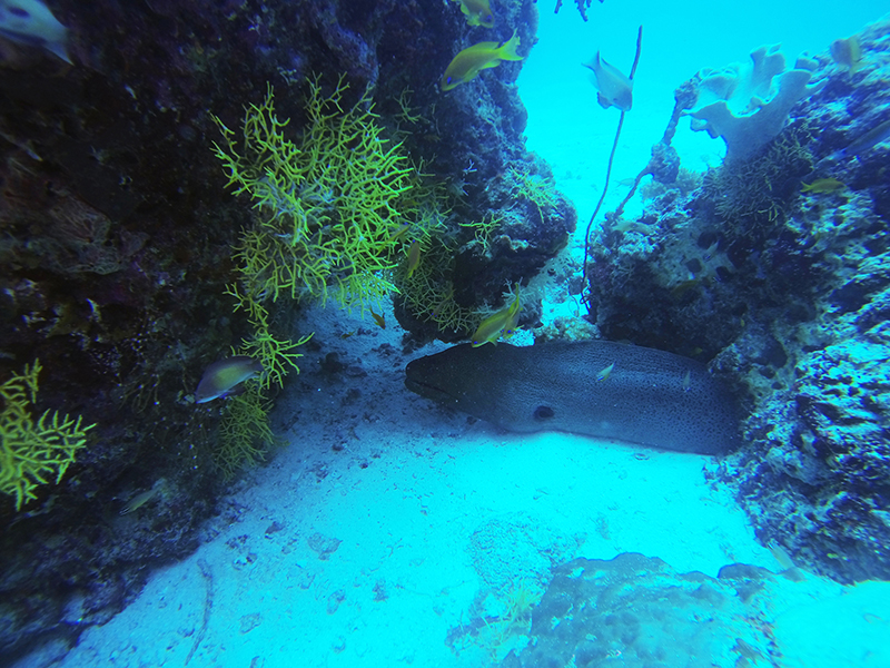 Мурена / Moray Eel